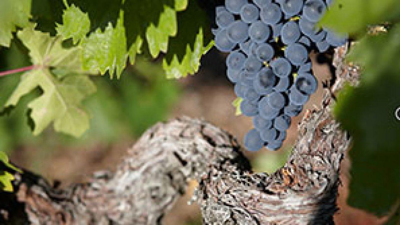 Poca producción de vino para 2017